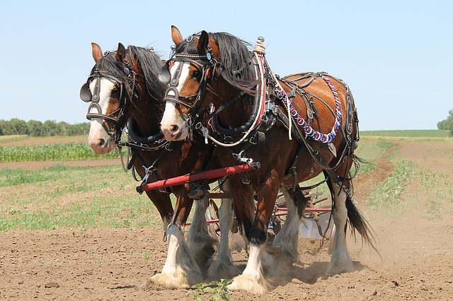 Harnessed Clydesdales