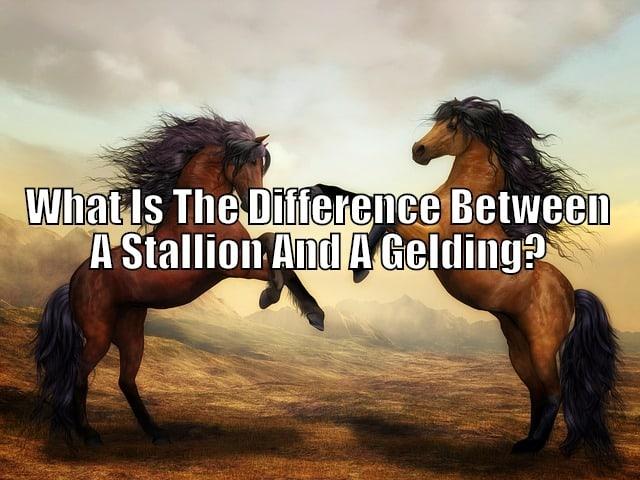 stallion vs gelding