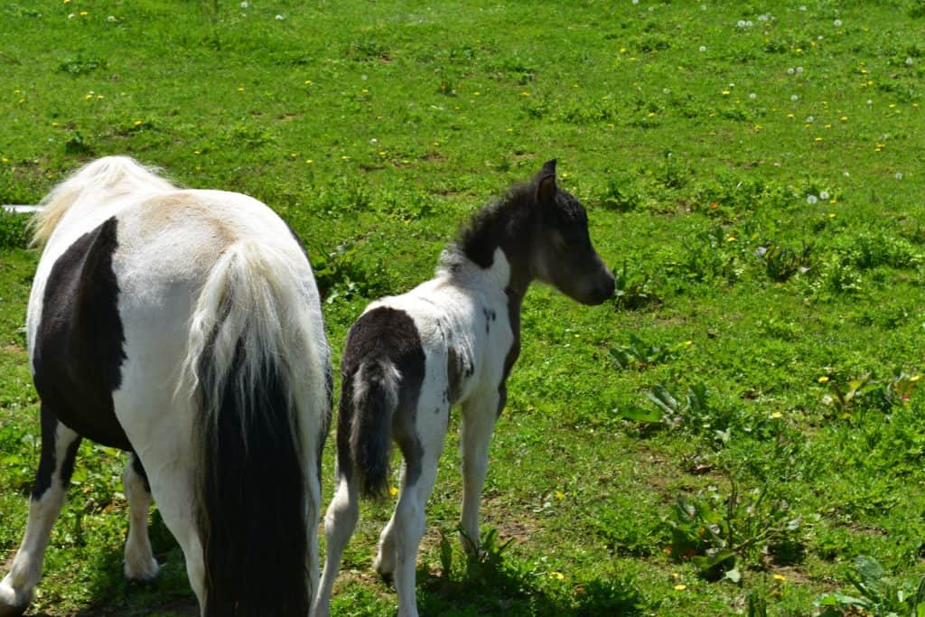 Mini Foal Weaning From Mare