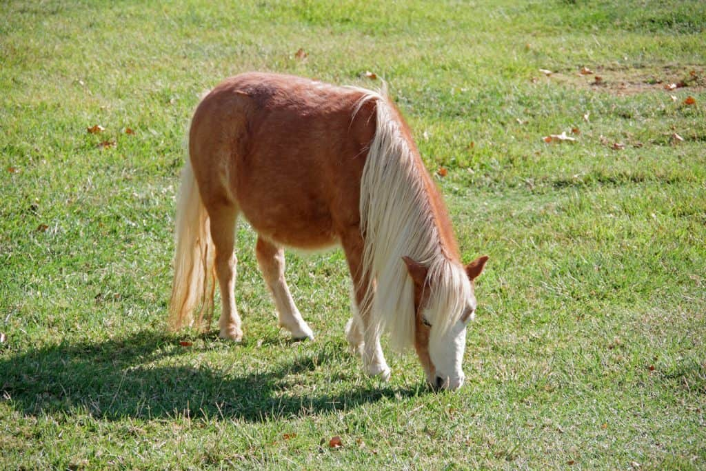 mini horse in backyard