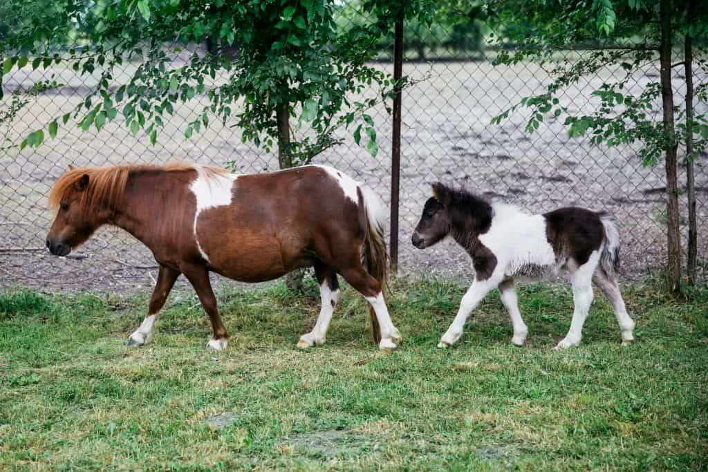 mini horses in city limits