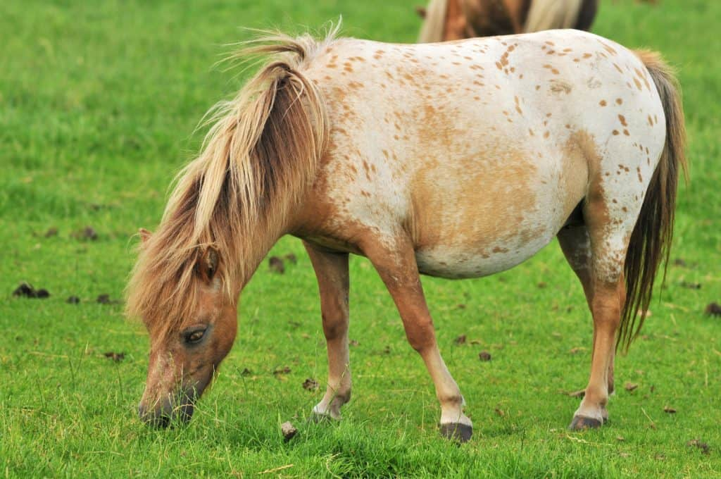 mini horse eating oats and hay