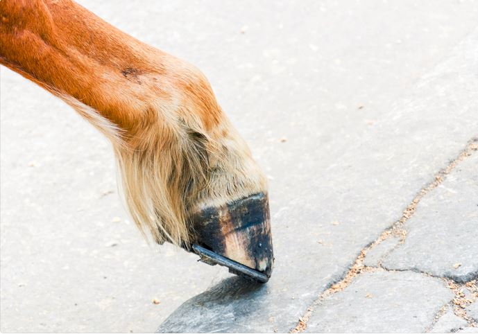mini horse hoof being trimmed