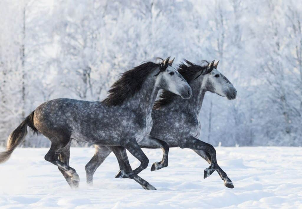 Grey and dapple grey horses